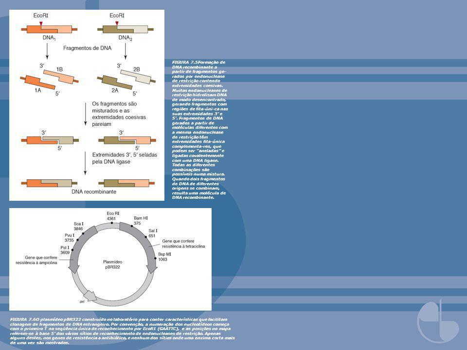 FIGURA 7.5Formação de DNA recombinante a partir de fragmentos ge- rados por endonuclease de restrição contendo extremidades coesivas. Muitas endonucle