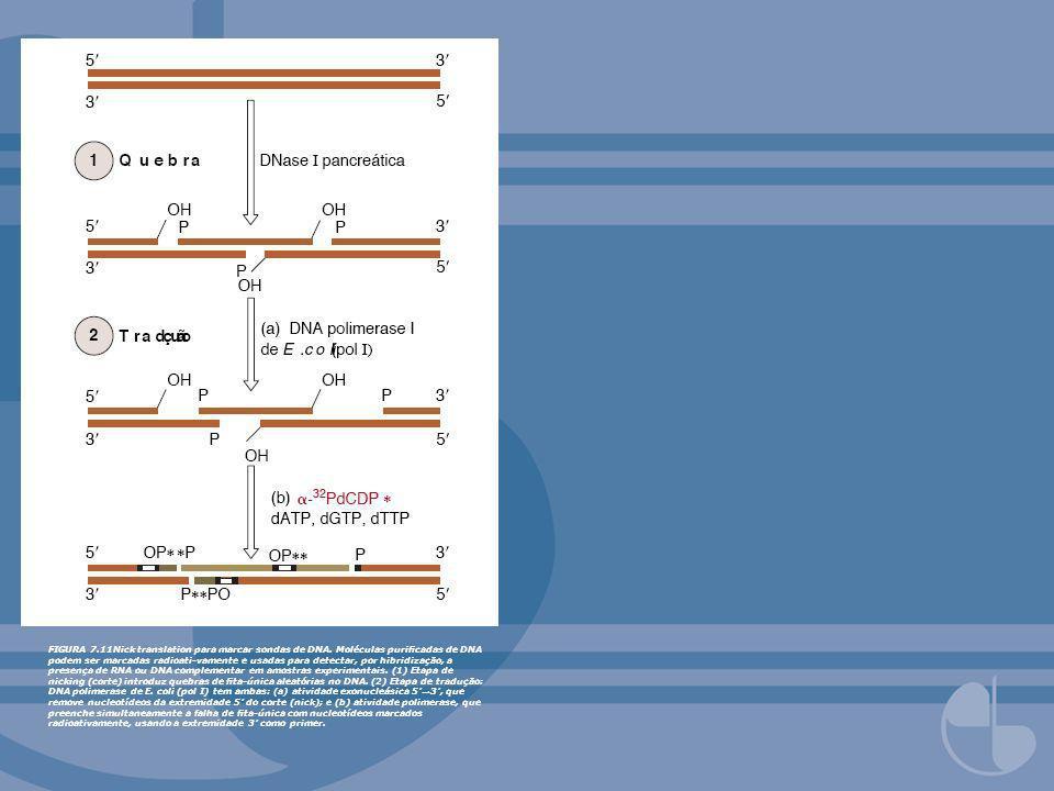 FIGURA 7.22Expressão de genes estrangeiros em células eucarióticas COS.