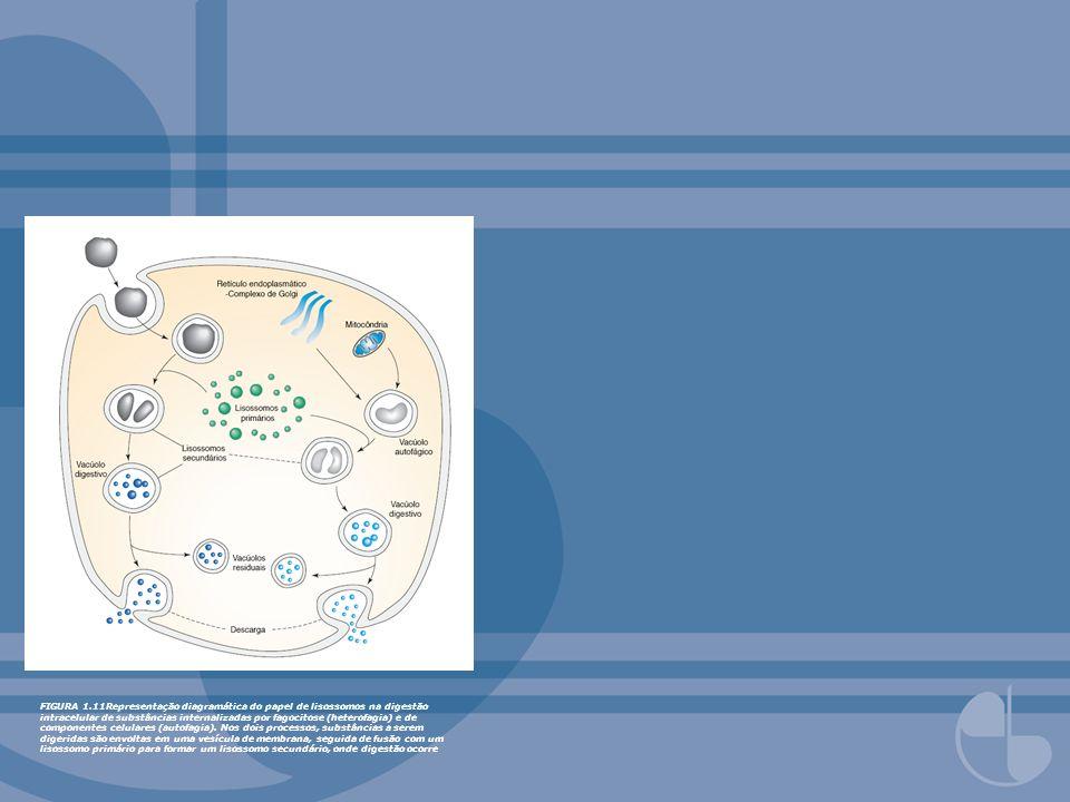 FIGURA 1.11Representação diagramática do papel de lisossomos na digestão intracelular de substâncias internalizadas por fagocitose (heterofagia) e de