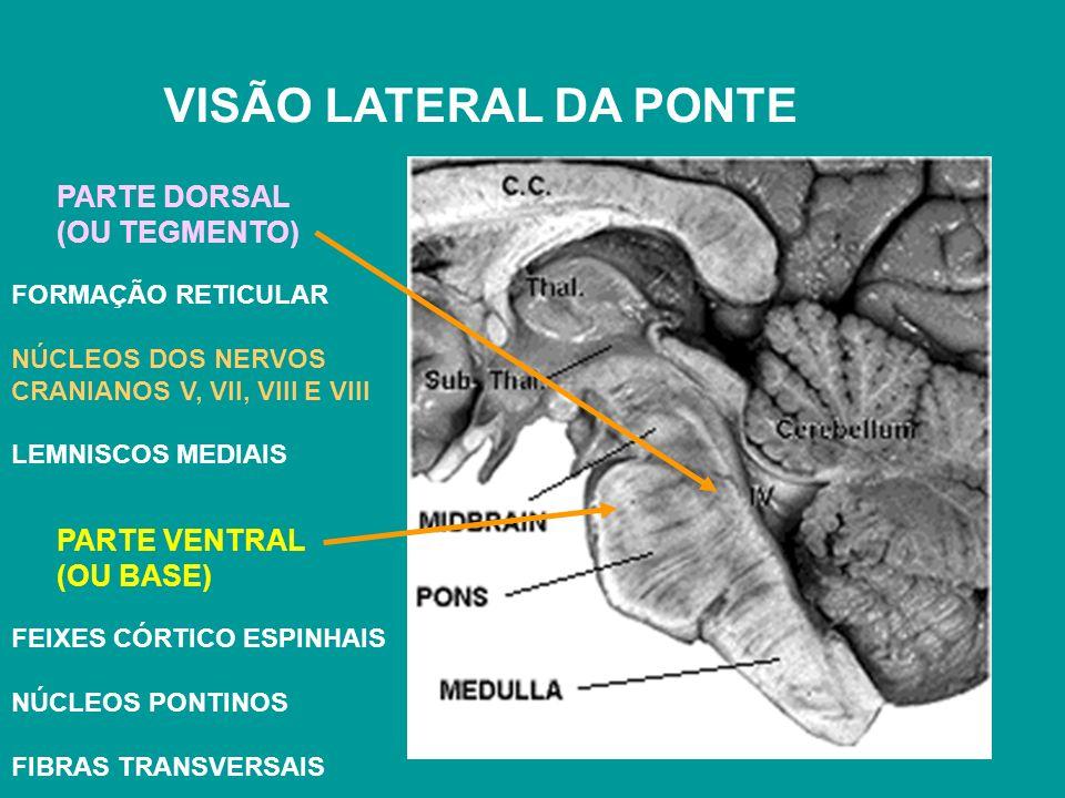 VISÃO LATERAL DA PONTE PARTE VENTRAL (OU BASE) PARTE DORSAL (OU TEGMENTO) FORMAÇÃO RETICULAR NÚCLEOS DOS NERVOS CRANIANOS V, VII, VIII E VIII LEMNISCOS MEDIAIS FEIXES CÓRTICO ESPINHAIS NÚCLEOS PONTINOS FIBRAS TRANSVERSAIS