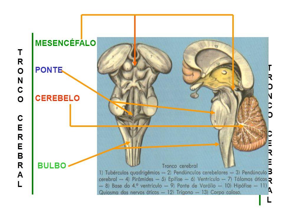 I.Bulbo OlfatórIo II. Nervo Ótico III. Nervo Oculomotor IV.