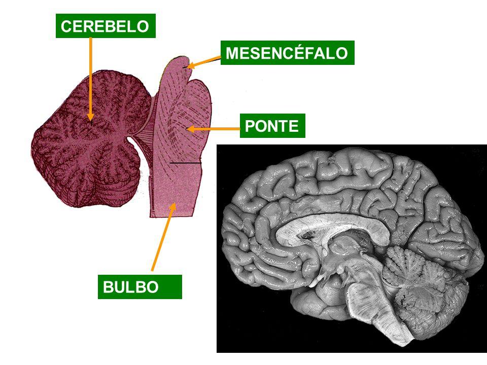 CEREBELO MESENCÉFALO PONTE BULBO