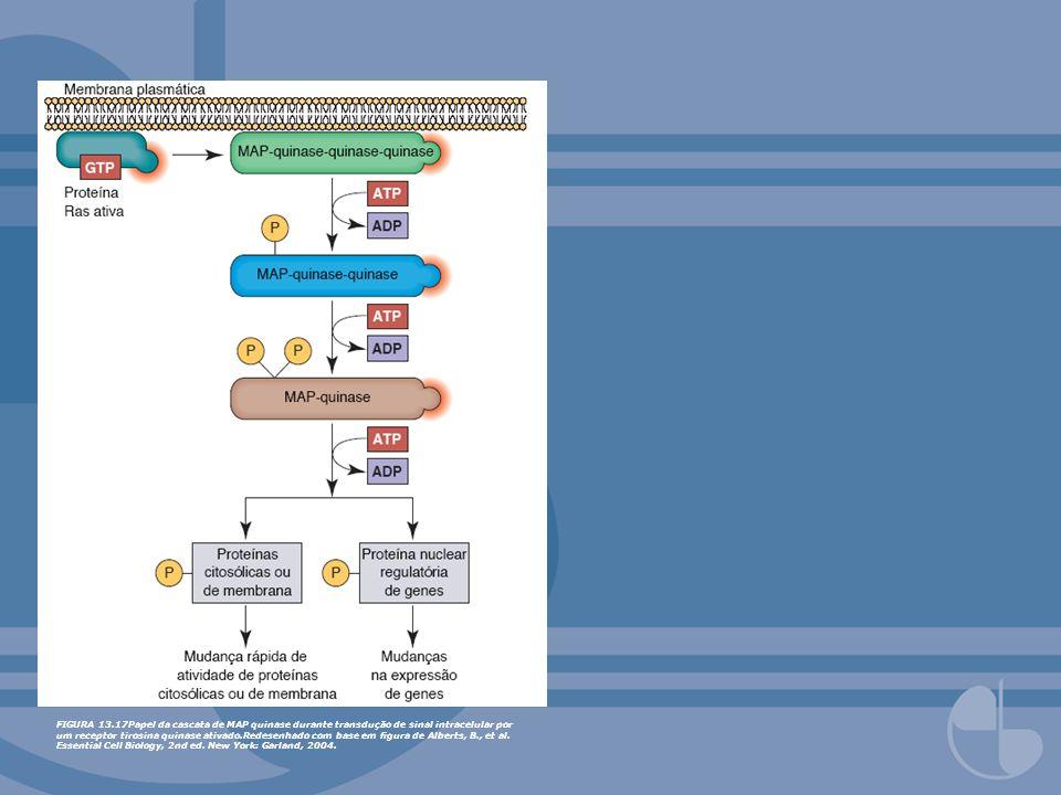 FIGURA 13.17Papel da cascata de MAP quinase durante transdução de sinal intracelular por um receptor tirosina quinase ativado.Redesenhado com base em