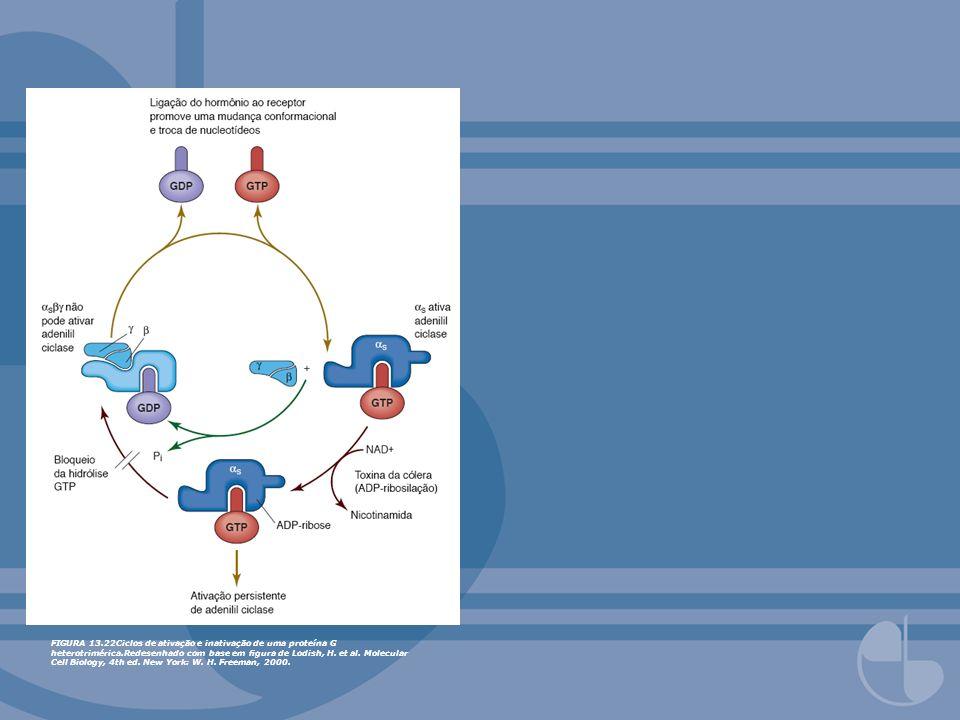 FIGURA 13.22Ciclos de ativação e inativação de uma proteína G heterotrimérica.Redesenhado com base em gura de Lodish, H. et al. Molecular Cell Biology