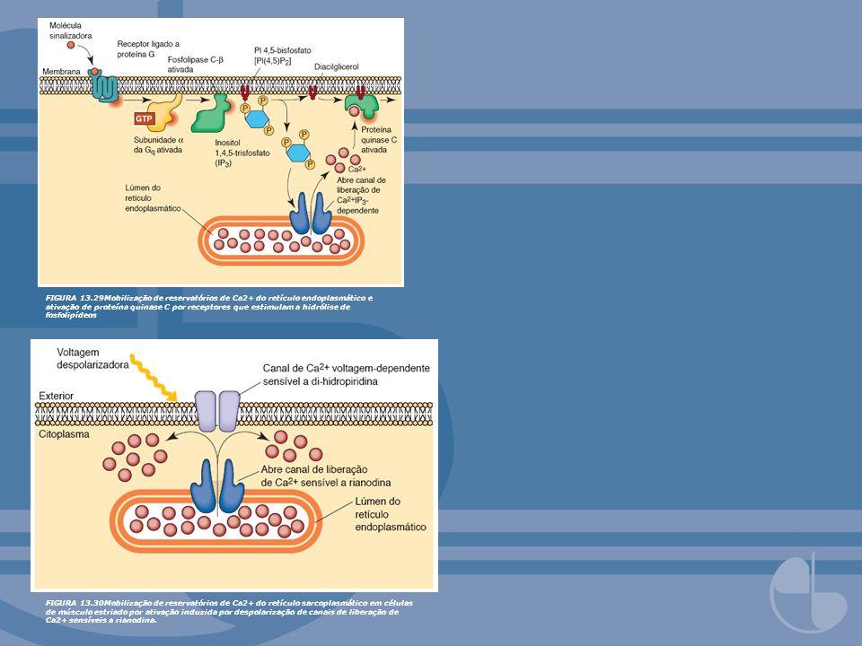 FIGURA 13.29Mobilização de reservatórios de Ca2+ do retículo endoplasmático e ativação de proteína quinase C por receptores que estimulam a hidrólise
