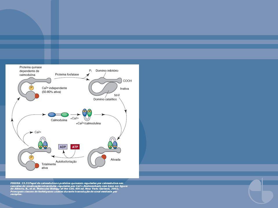 FIGURA 13.31Papel de calmodulina e proteína quinases reguladas por calmodulina nas cascatas de sinalização intracelular reguladas por Ca2+.Redesenhado