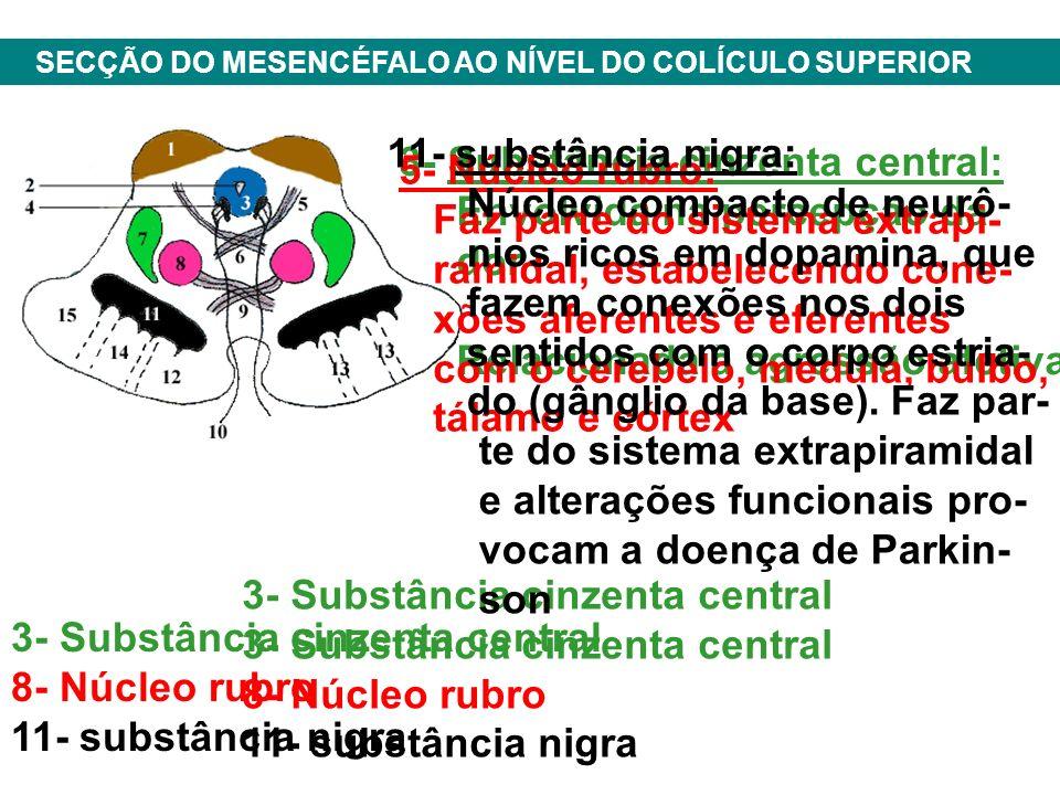 3- Substância cinzenta central 8- Núcleo rubro 11- substância nigra SECÇÃO DO MESENCÉFALO AO NÍVEL DO COLÍCULO SUPERIOR 3- Substância cinzenta central 8- Núcleo rubro 11- substância nigra 3- Substância cinzenta central: Envolvida na percepção da dor Relacionada à agressão afetiva 5- Núcleo rubro: Faz parte do sistema extrapi- ramidal, estabelecendo cone- xões aferentes e eferentes com o cerebelo, medula, bulbo, tálamo e córtex 11- substância nigra: Núcleo compacto de neurô- nios ricos em dopamina, que fazem conexões nos dois sentidos com o corpo estria- do (gânglio da base).