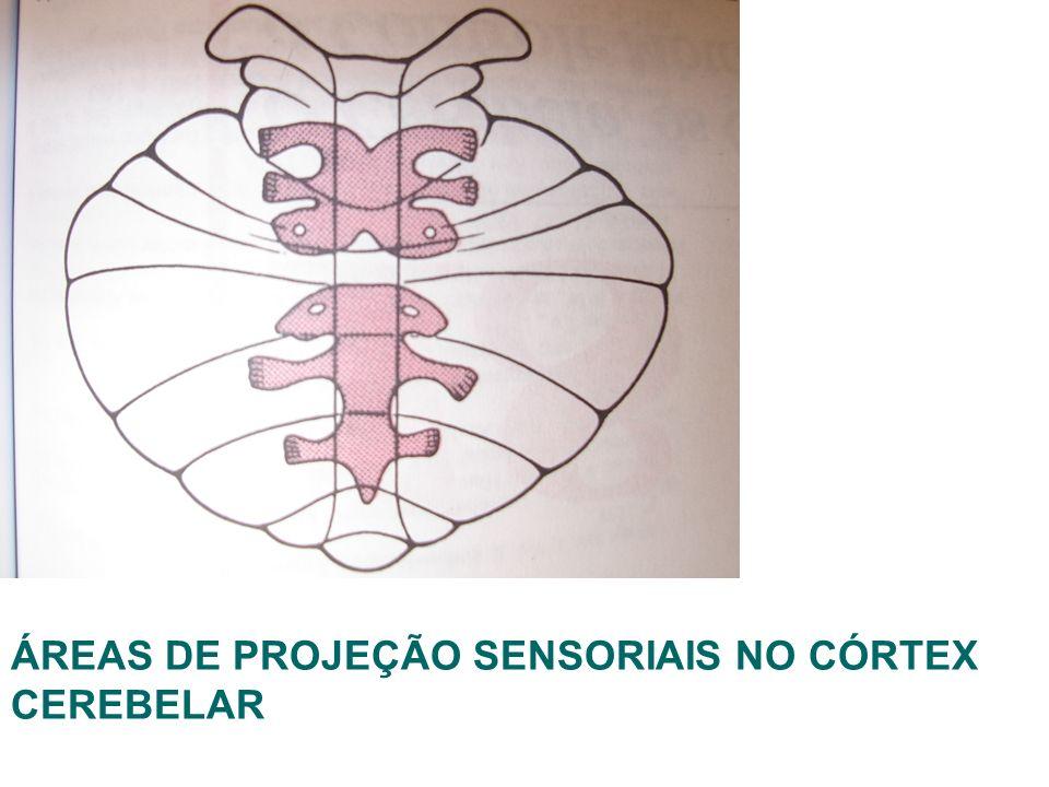 ÁREAS DE PROJEÇÃO SENSORIAIS NO CÓRTEX CEREBELAR