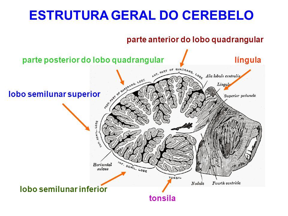 parte anterior do lobo quadrangular parte posterior do lobo quadrangular lobo semilunar superior lobo semilunar inferior tonsila língula ESTRUTURA GERAL DO CEREBELO