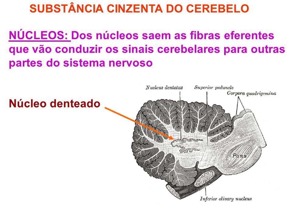 SUBSTÂNCIA CINZENTA DO CEREBELO NÚCLEOS: Dos núcleos saem as fibras eferentes que vão conduzir os sinais cerebelares para outras partes do sistema nervoso Núcleo denteado