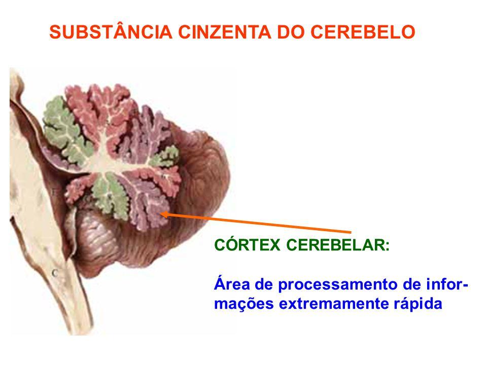 SUBSTÂNCIA CINZENTA DO CEREBELO CÓRTEX CEREBELAR: Área de processamento de infor- mações extremamente rápida