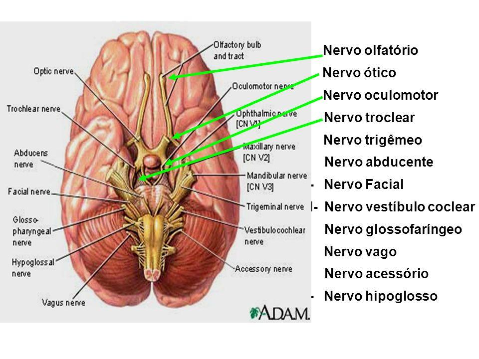 I- Nervo olfatório II- Nervo ótico III- Nervo oculomotor IV- Nervo troclear V- Nervo trigêmeo VI- Nervo abducente VII- Nervo Facial VIII- Nervo vestíbulo coclear IX- Nervo glossofaríngeo X- Nervo vago XI- Nervo acessório XII- Nervo hipoglosso