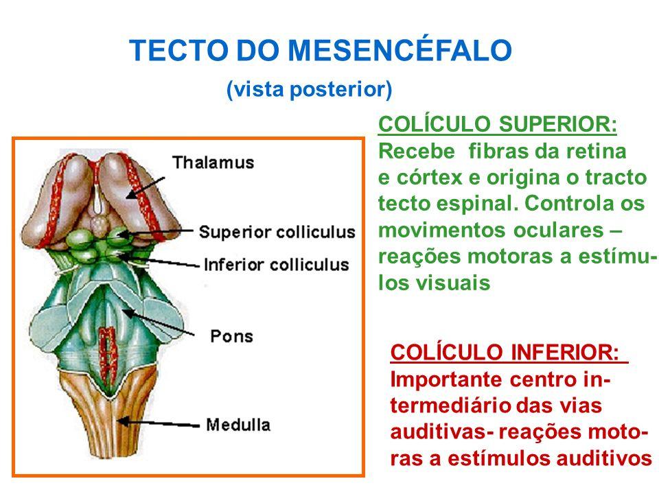 COLÍCULO SUPERIOR: Recebe fibras da retina e córtex e origina o tracto tecto espinal.