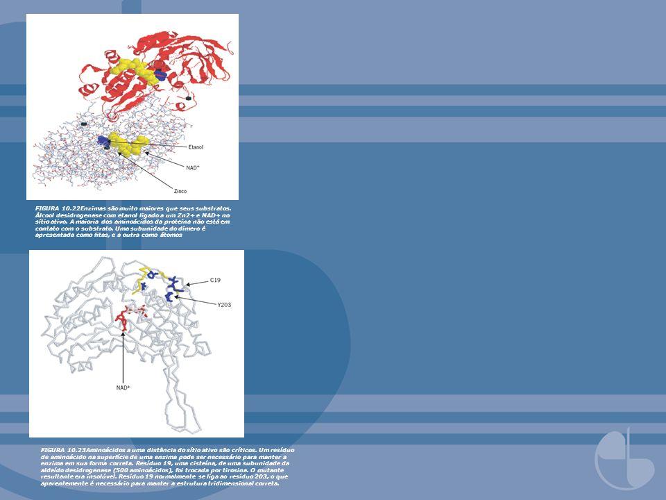 FIGURA 10.22Enzimas são muito maiores que seus substratos. Álcool desidrogenase com etanol ligado a um Zn2+ e NAD+ no sítio ativo. A maioria dos amino
