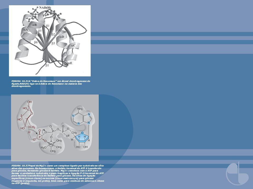 FIGURA 10.31A Dobra de Rossmann em álcool desidrogenase de fígado.NAD(H) liga-se à dobra de Rossmann na maioria das desidrogenases. FIGURA 10.37Papel