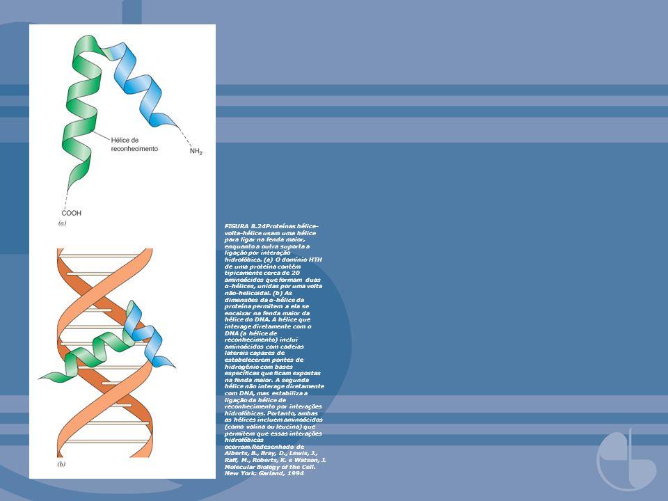 FIGURA 8.24Proteínas hélice- volta-hélice usam uma hélice para ligar na fenda maior, enquanto a outra suporta a ligação por interação hidrofóbica. (a)