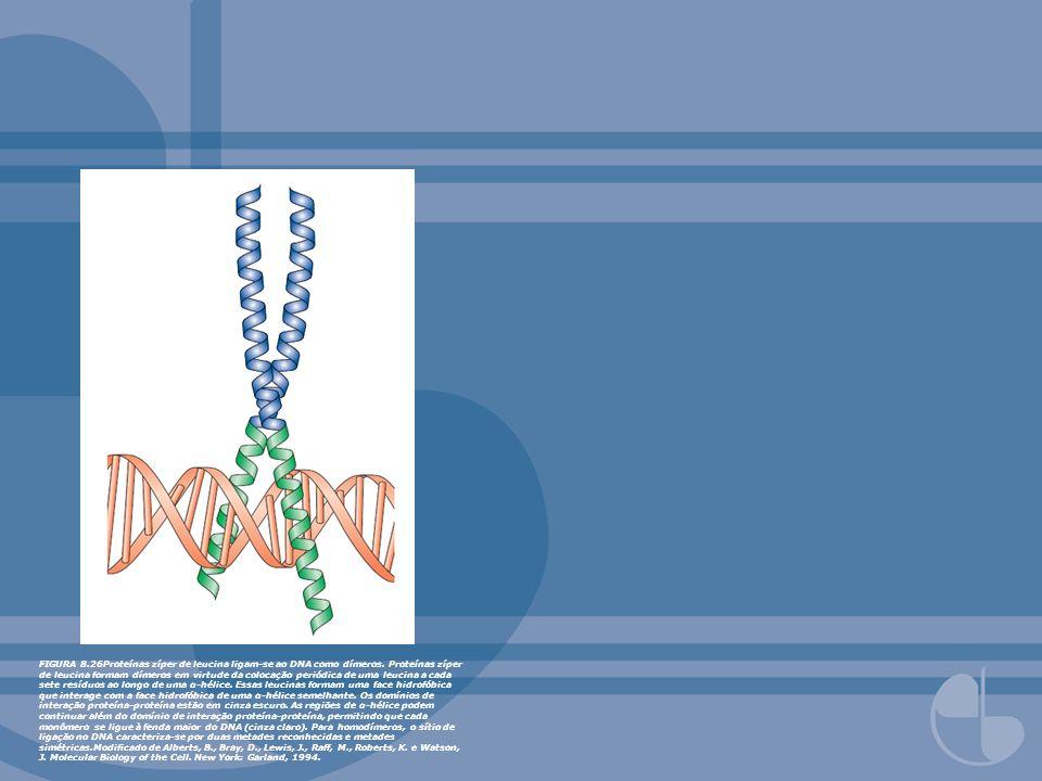 FIGURA 8.26Proteínas zíper de leucina ligam-se ao DNA como dímeros. Proteínas zíper de leucina formam dímeros em virtude da colocação periódica de uma