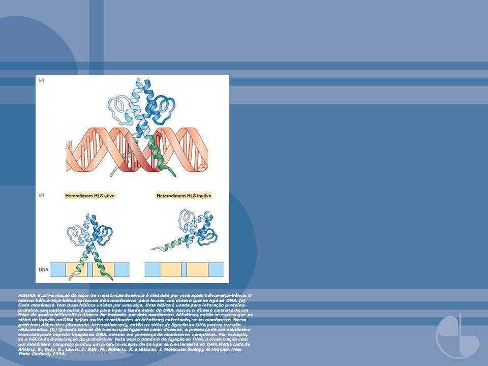 FIGURA 8.27Formação do fator de transcrição dimérico é mediada por interações hélice-alça-hélice. O motivo hélice-alça-hélice aproxima dois monômeros