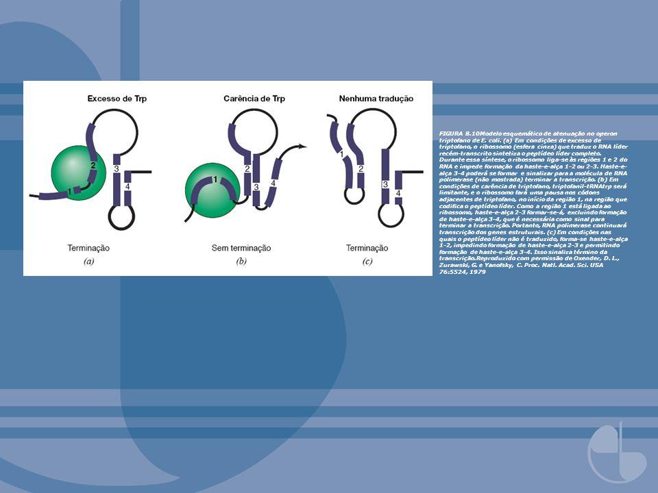 FIGURA 8.10Modelo esquemático de atenuação no operon triptofano de E. coli. (a) Em condições de excesso de triptofano, o ribossomo (esfera cinza) que