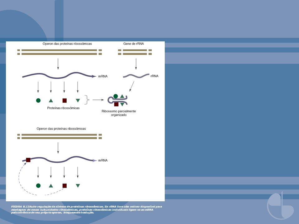 FIGURA 8.13Auto-regulação da síntese de proteínas ribossômicas. Se rRNA livre não estiver disponível para montagem de novas subunidades ribossômicas,