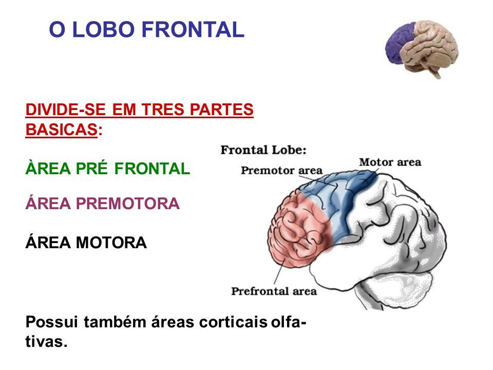 O LOBO FRONTAL DIVIDE-SE EM TRES PARTES BASICAS: ÀREA PRÉ FRONTAL ÁREA PREMOTORA ÁREA MOTORA Possui também áreas corticais olfa- tivas.