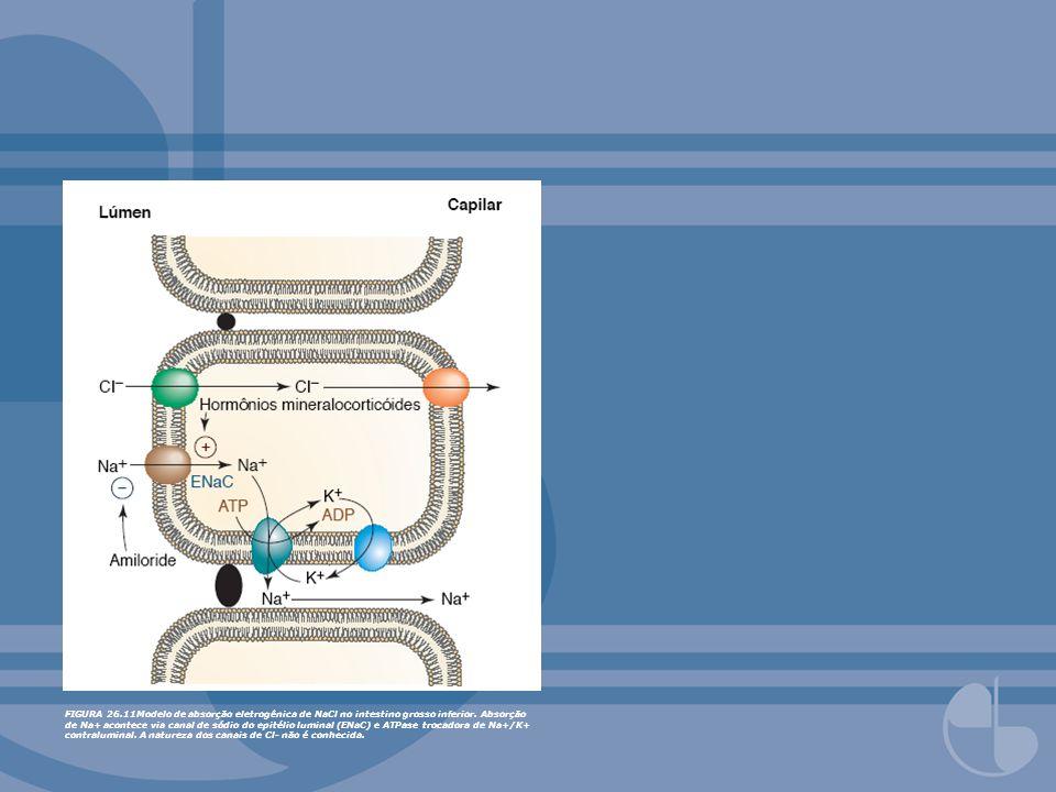 FIGURA 26.11Modelo de absorção eletrogênica de NaCl no intestino grosso inferior. Absorção de Na+ acontece via canal de sódio do epitélio luminal (ENa