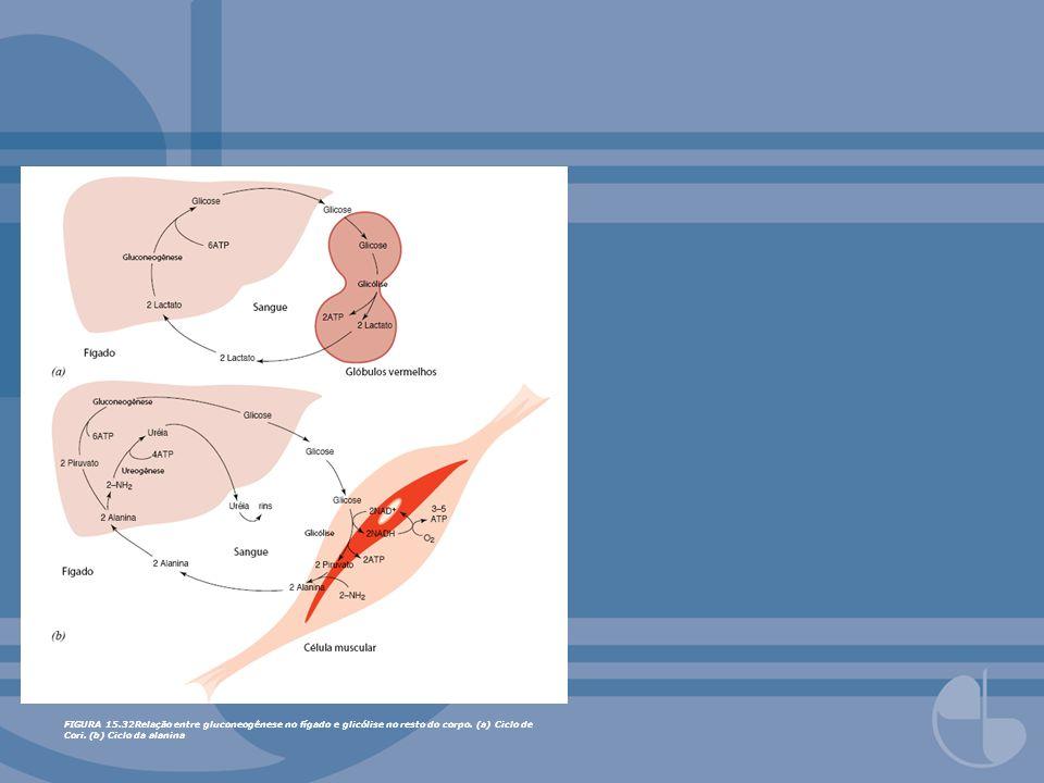 FIGURA 15.32Relação entre gluconeogênese no fígado e glicólise no resto do corpo. (a) Ciclo de Cori. (b) Ciclo da alanina