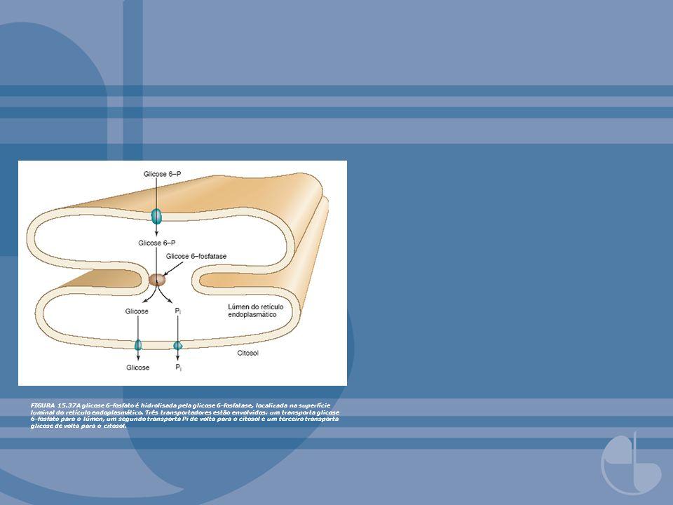 FIGURA 15.37A glicose 6-fosfato é hidrolisada pela glicose 6-fosfatase, localizada na superfície luminal do retículo endoplasmático. Três transportado