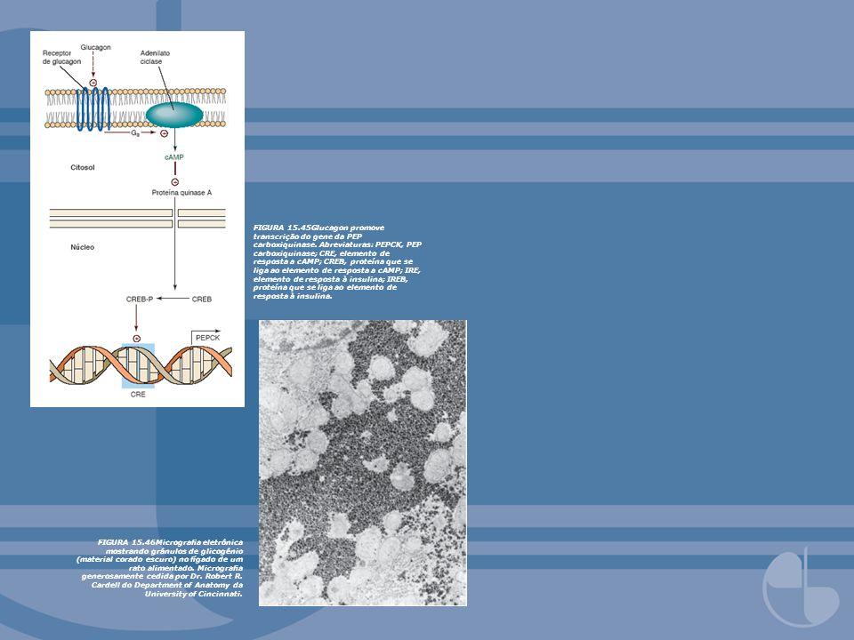 FIGURA 15.45Glucagon promove transcrição do gene da PEP carboxiquinase. Abreviaturas: PEPCK, PEP carboxiquinase; CRE, elemento de resposta a cAMP; CRE
