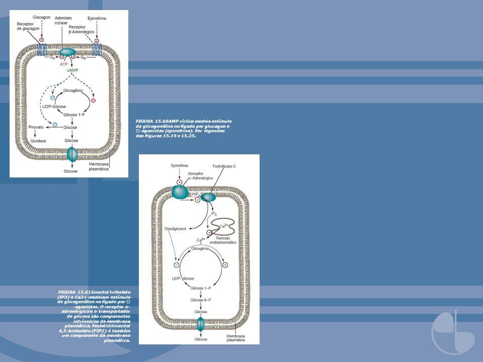 FIGURA 15.60AMP cíclico medeia estímulo da glicogenólise no fígado por glucagon e -agonistas (epinefrina). Ver legendas das Figuras 15.19 e 15.25. FIG