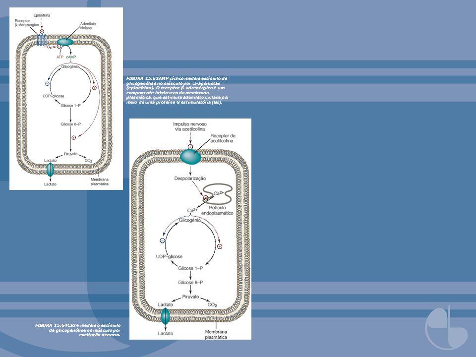 FIGURA 15.63AMP cíclico medeia estímulo de glicogenólise no músculo por -agonistas (epinefrina). O receptor β-adrenérgico é um componente intrínseco d