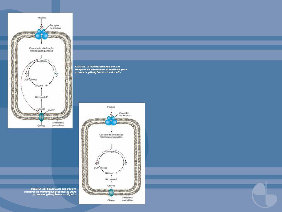 FIGURA 15.66Insulina age por um receptor de membrana plasmática para promover glicogênese no fígado. FIGURA 15.65Insulina age por um receptor de membr