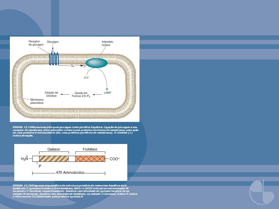 FIGURA 15.25Mecanismo de inibição da glicólise hepática por glucagon e epinefrina por queda mediada por cAMP da concentração de frutose 2,6- bisfosfato.Ver legenda da Figura 15.19.