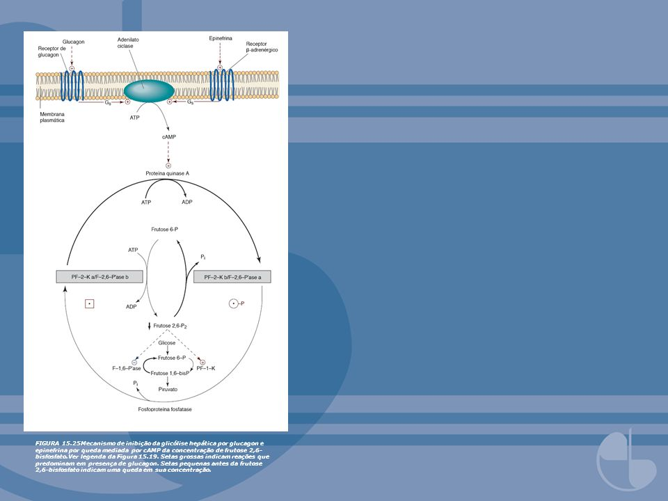 FIGURA 15.25Mecanismo de inibição da glicólise hepática por glucagon e epinefrina por queda mediada por cAMP da concentração de frutose 2,6- bisfosfat