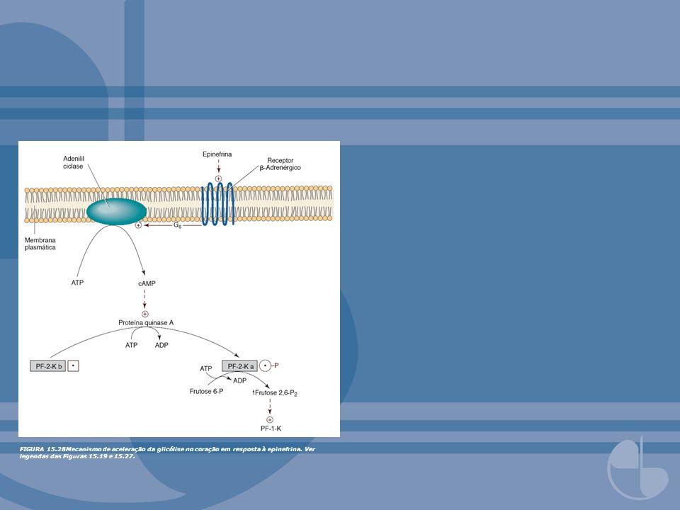 FIGURA 15.60AMP cíclico medeia estímulo da glicogenólise no fígado por glucagon e -agonistas (epinefrina).