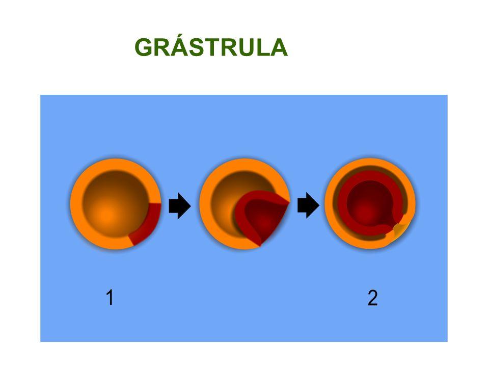 GRÁSTRULA