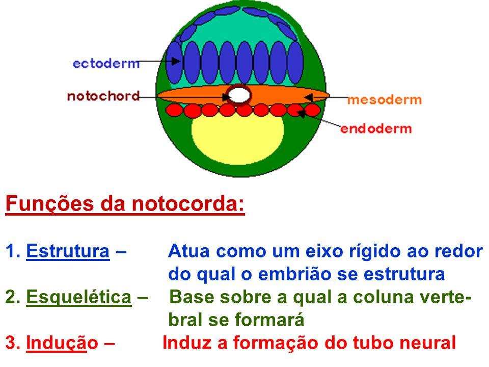 Funções da notocorda: 1. Estrutura – Atua como um eixo rígido ao redor do qual o embrião se estrutura 2. Esquelética – Base sobre a qual a coluna vert