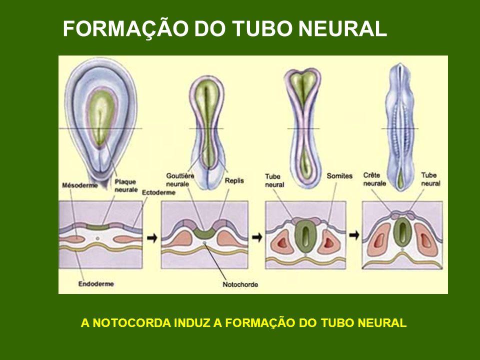 FORMAÇÃO DO TUBO NEURAL A NOTOCORDA INDUZ A FORMAÇÃO DO TUBO NEURAL