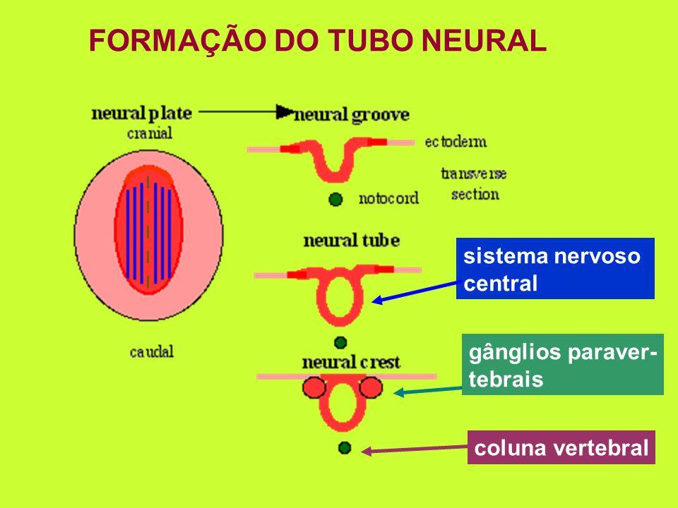 FORMAÇÃO DO TUBO NEURAL sistema nervoso central gânglios paraver- tebrais coluna vertebral
