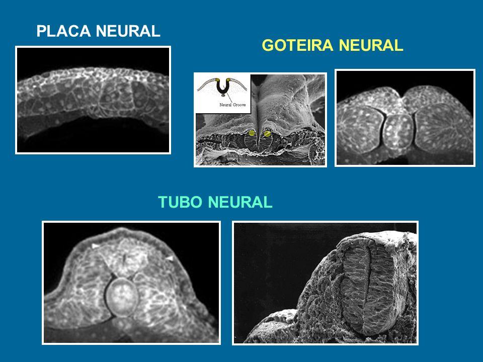 PLACA NEURAL GOTEIRA NEURAL TUBO NEURAL