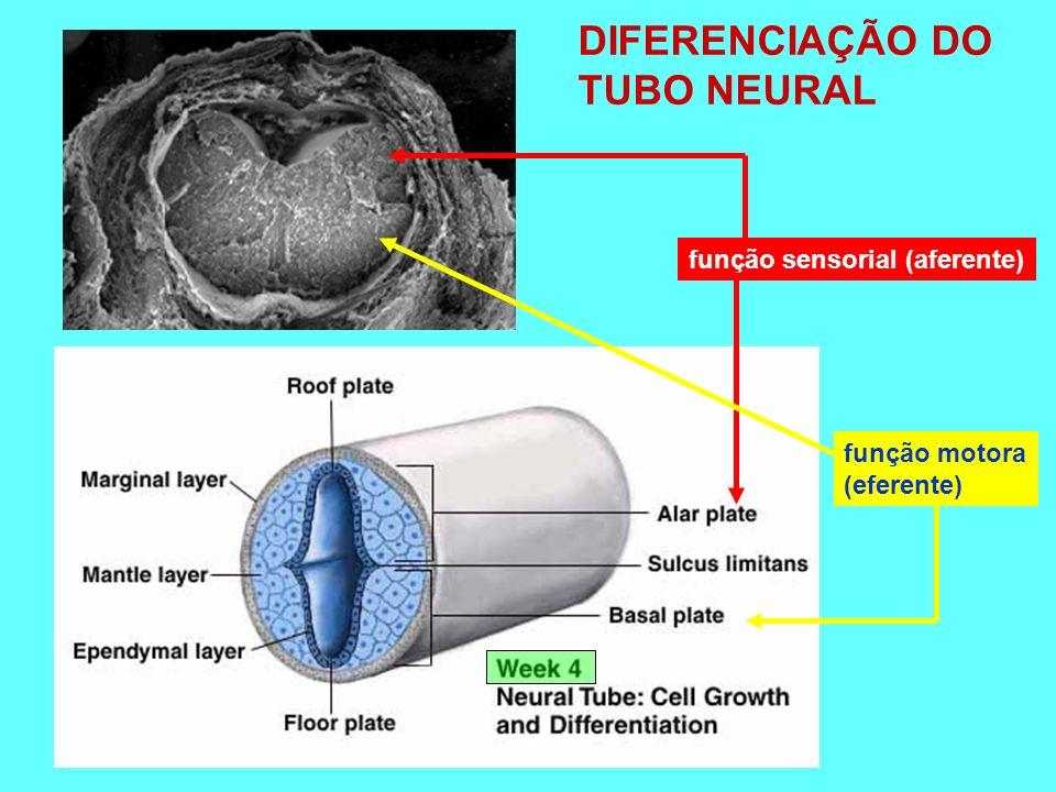 função sensorial (aferente) função motora (eferente) DIFERENCIAÇÃO DO TUBO NEURAL