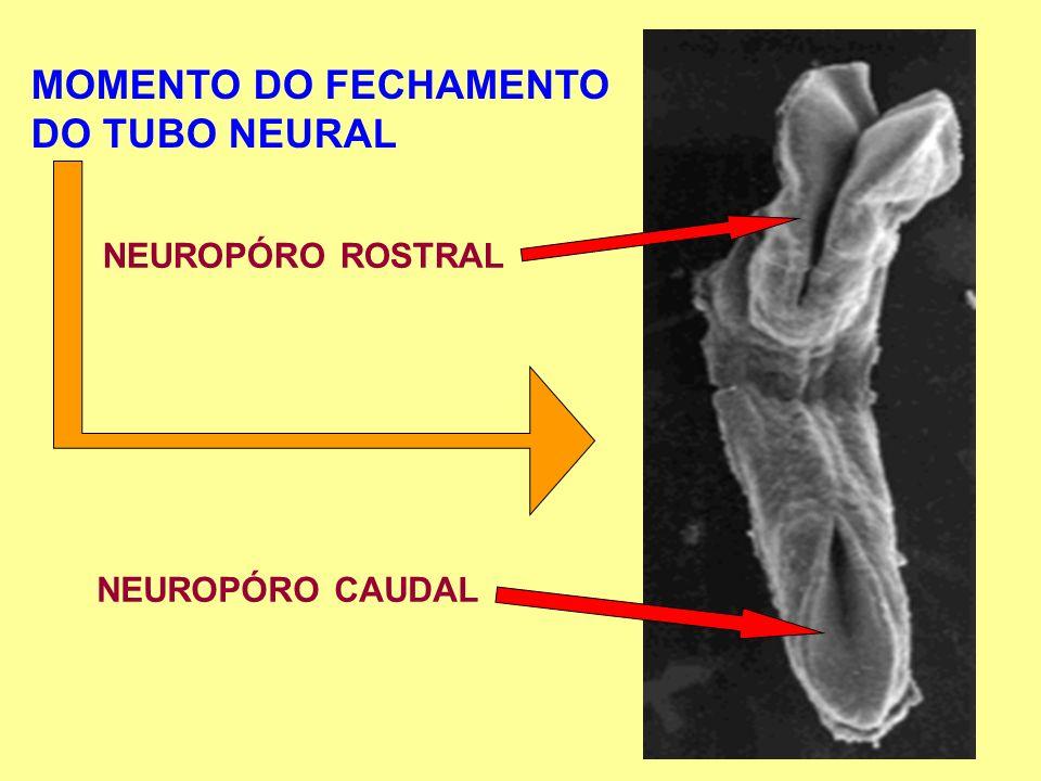 MOMENTO DO FECHAMENTO DO TUBO NEURAL NEUROPÓRO ROSTRAL NEUROPÓRO CAUDAL