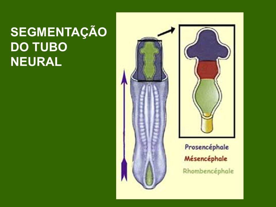 SEGMENTAÇÃO DO TUBO NEURAL