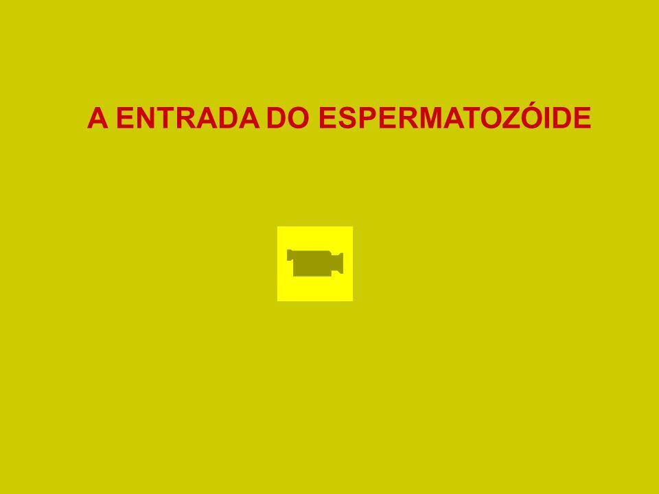 A ENTRADA DO ESPERMATOZÓIDE