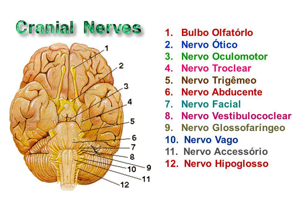 1. Bulbo OlfatórIo 2. Nervo Ótico 3. Nervo Oculomotor 4. Nervo Troclear 5. Nervo Trigêmeo 6. Nervo Abducente 7. Nervo Facial 8. Nervo Vestibulococlear