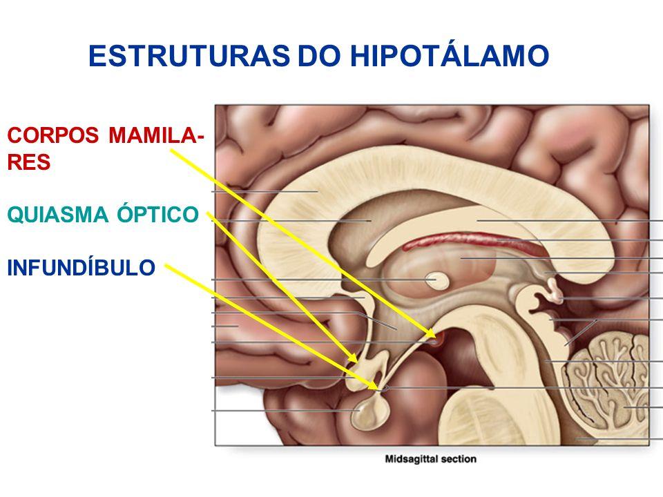 ESTRUTURAS DO HIPOTÁLAMO CORPOS MAMILA- RES QUIASMA ÓPTICO INFUNDÍBULO