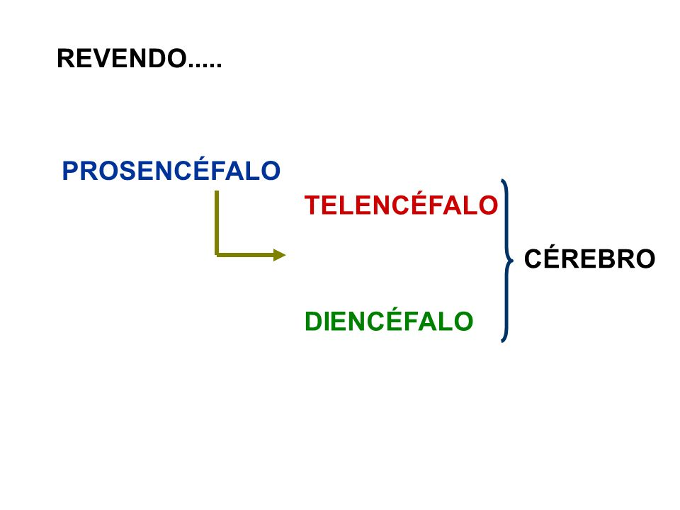 REVENDO..... PROSENCÉFALO TELENCÉFALO DIENCÉFALO CÉREBRO