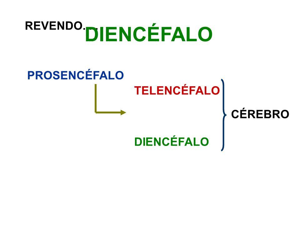 REVENDO..... PROSENCÉFALO TELENCÉFALO DIENCÉFALO CÉREBRO DIENCÉFALO