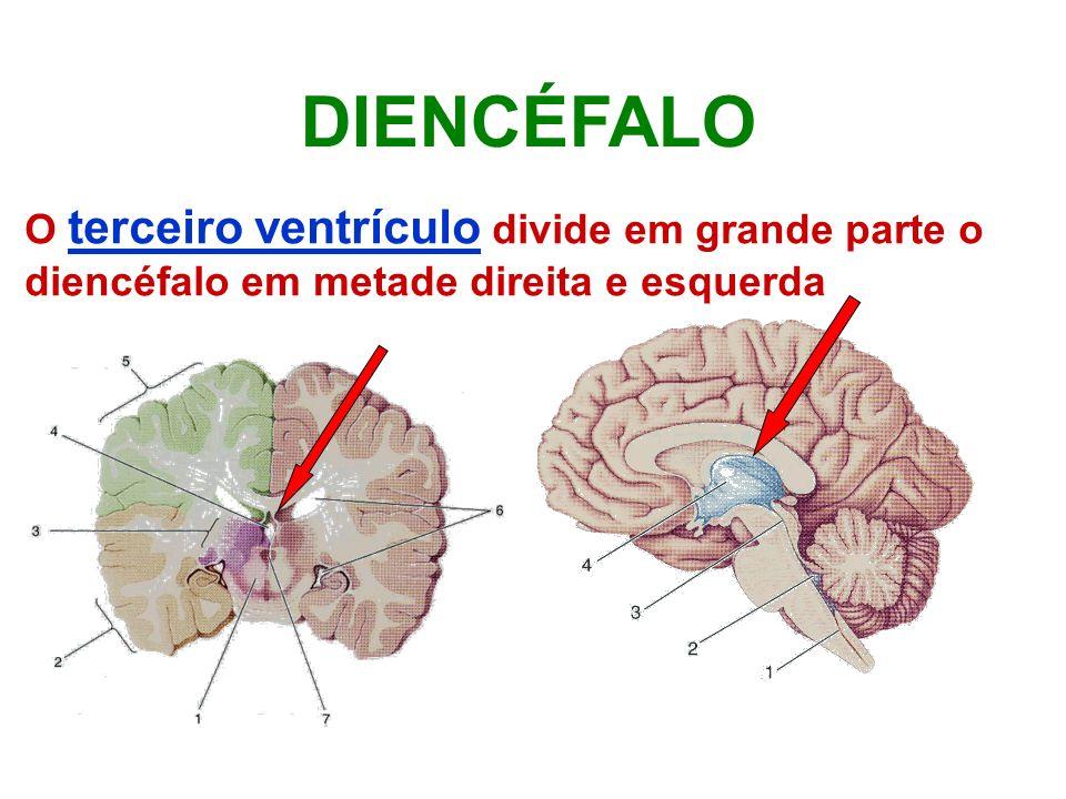 O terceiro ventrículo divide em grande parte o diencéfalo em metade direita e esquerda