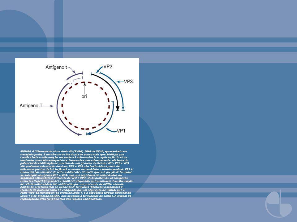 FIGURA 6.2Genoma do vírus símio 40 (SV40). DNA de SV40, apresentado em tracejado preto, é um círculo de ta dupla de pouco mais que 5000 pb que codica